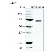 rhAlbumin, альбумин человека, рекомбинантный белок  1 мг PSP100-1