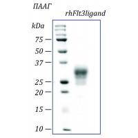 rhFlt3L, лиганд рецепторной тирозин киназы человека, рекомбинантный белок, 10 мкг