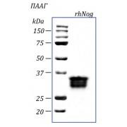rhNog, ноджин человека, рекомбинантный белок, 10 мкг