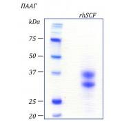 rhSCF, фактор стволовых клеток человека, рекомбинантный белок, 10 мкг