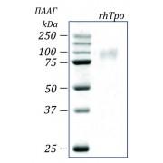 rhTpo, тромбопоэтин человека, рекомбинантный белок, 10 мкг