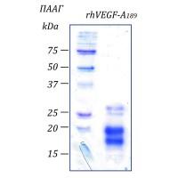 rhVEGF-A189 фактор роста эндотелия сосудов- А человека, изоформа 189, рекомбинантный белок, 2 мкг